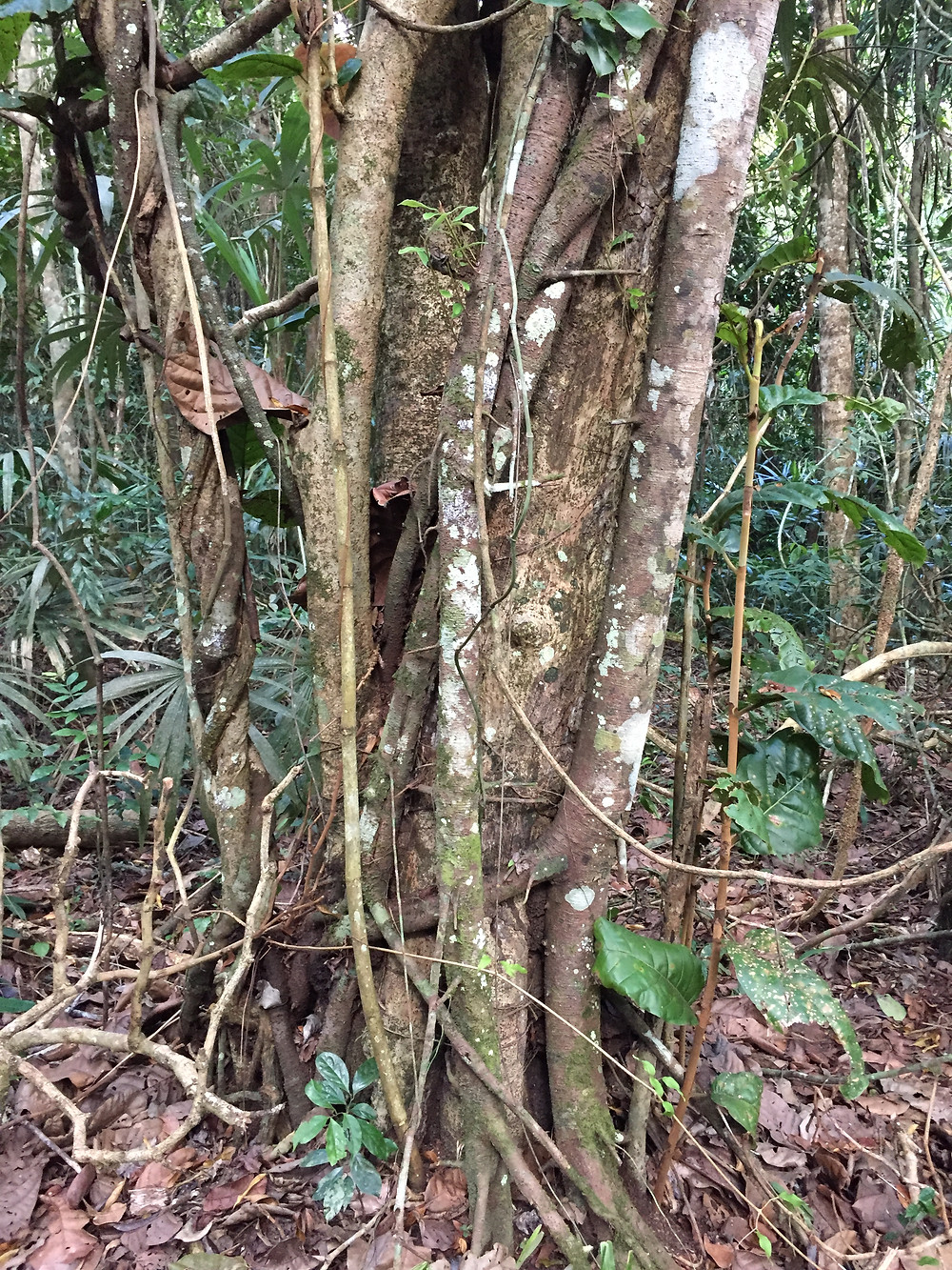 Coccoloba belizensis outwits a strangler fig by generating new sprouts outside the main stem that is being strangled!   The power of clonality!