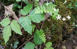 understory herbs