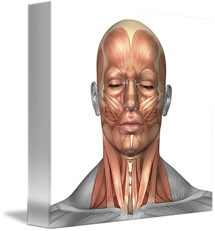 Anatomy-of-human-face-and-neck-muscles-f