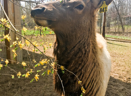 For Immediate Release: Potter Park Zoo Welcomes Elk Back to the Zoo