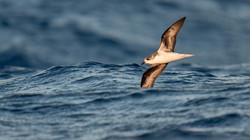 Madeirasturmvogel