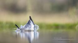 Graufischer