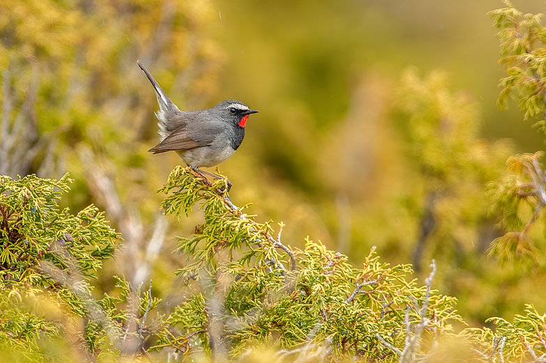 Kasachstan_White-tailed Rubythroat by MV