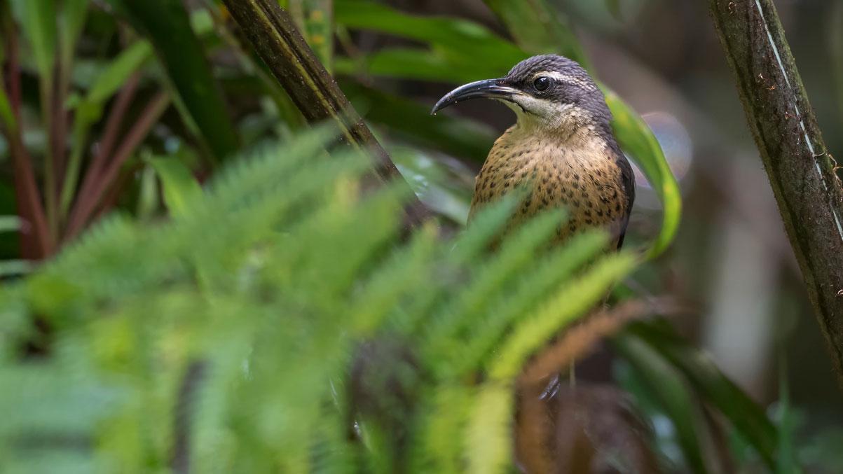 Victoria-Paradiesvogel