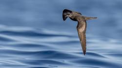 Bulwersturmvogel