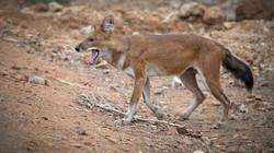 Indischer Wildhund