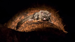 Grosser Gleithörnchenbeutler