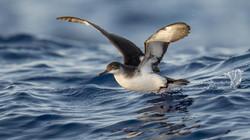 Atlantiksturmtaucher