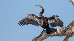 Australischer Schlangenhalsvogel