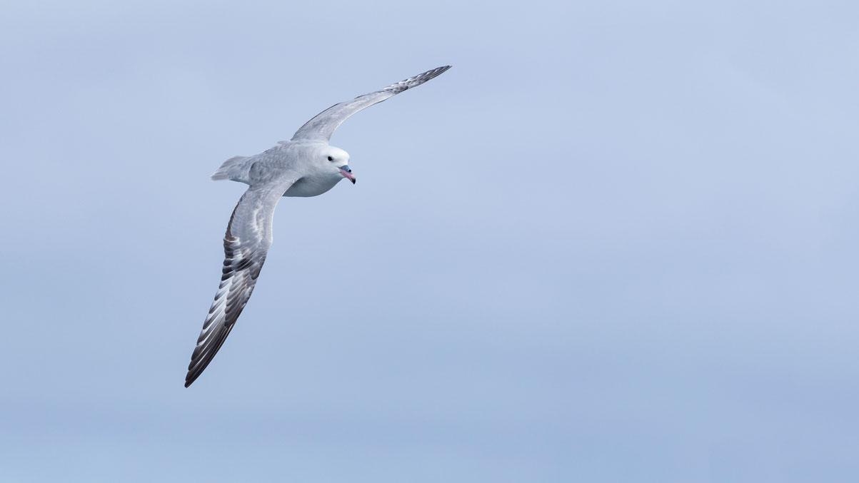 Silbersturmvogel