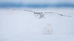 Schneeeule