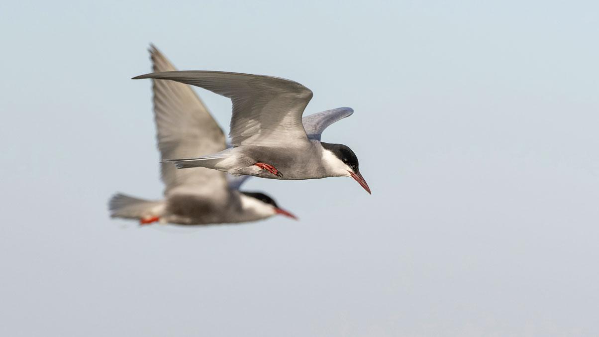 Weissflügelseeschwalbe