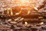 Close up termites or white ants.jpg