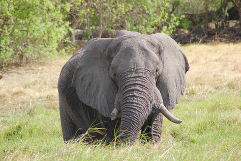 With the mokoro it is possible to come close to these beautiful elephants.