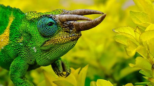 Rare three horn chameleon.