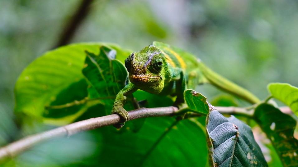 A female three-horned chameleon.