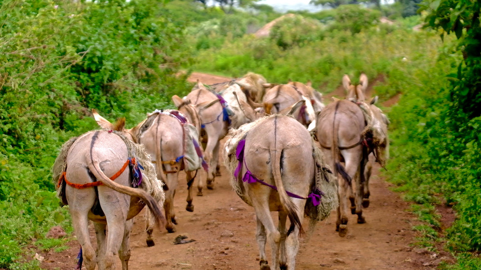 The donkeys carry all purchases from the masai to the boma.