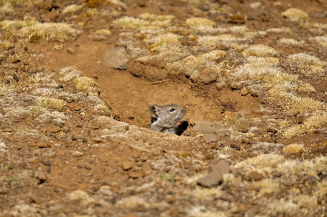 Reuzenmolrat in Dutch. You can find these animals in Bale National Park