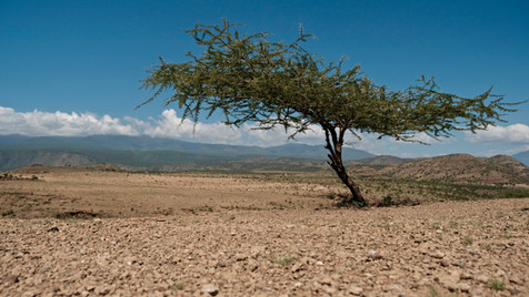 Acacia Tree in the middle of knowwhere.