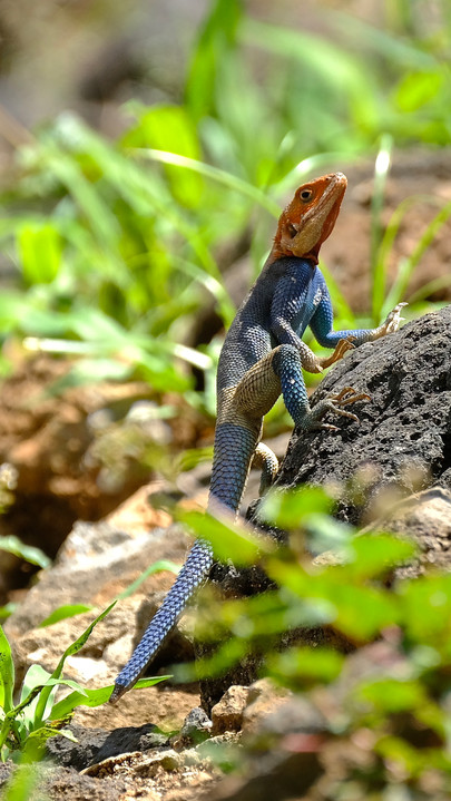 Male Red-headed rock agama.