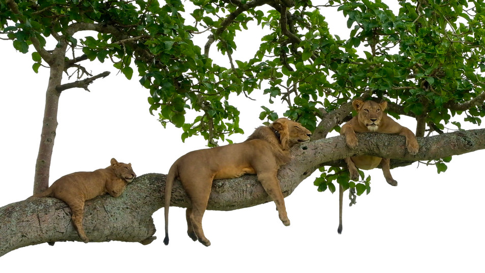 Just some lions hanging... :-)