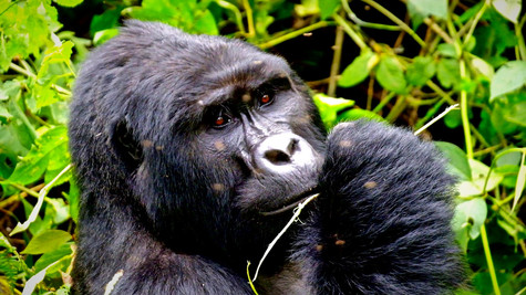 Mountain gorilla  Contrasting the common concept we have of them, they are not aggressive and have a peaceful and timid personality, but they can become very aggressive if they feel someone in the group is jeopardise.