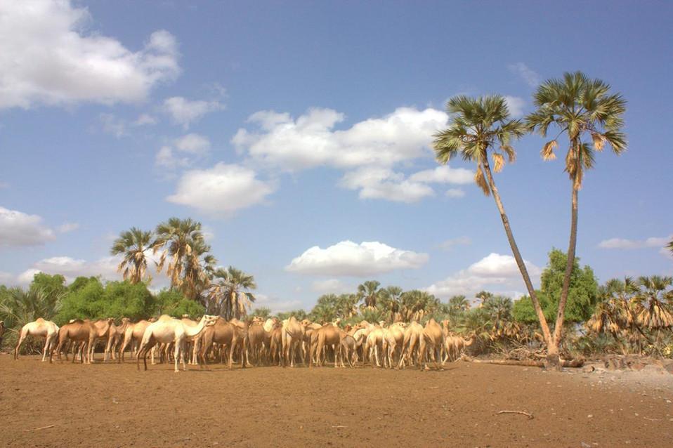 Loiyangalani, camels & Palmtrees.jpg
