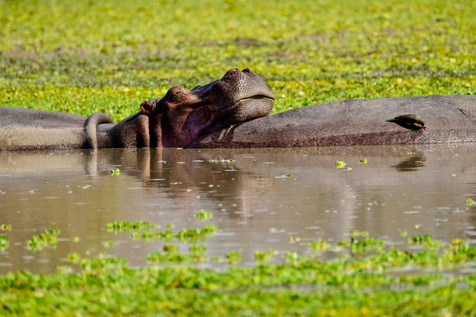 Hiding us behind a big fallen tree by a waterpool full with hippos. What a wonderful feeling to get so close to the animals and to be one with nature. See them chilling out!