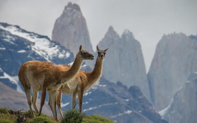 Alpaca nearby Torres del Paine