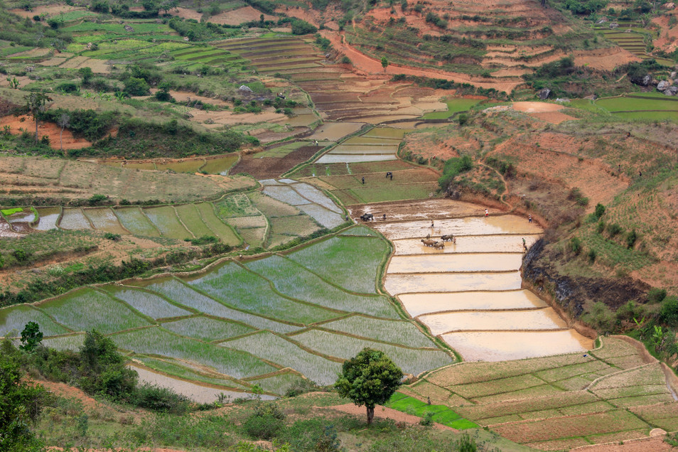 View rice gardens.