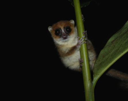 We encountered this grey mouse lemur during a nightwalk in Ranomafana National Park, Western Madagascar. Normaly quite shy, this little guy disapeared inside a protective treehole when we approached, but his curiosity about us soon overcame his far.