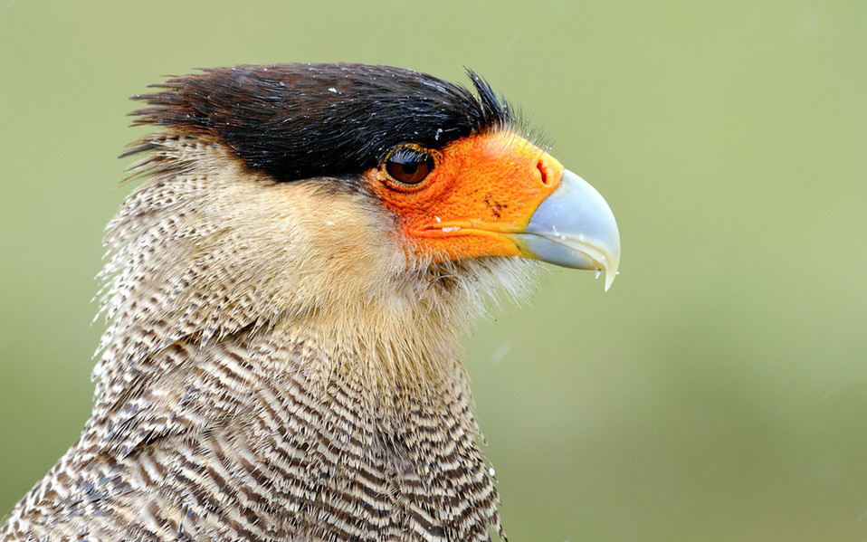 The crested caracara. The last few weeks we spotted several times these beautiful birds. They hunt on small mammals, reptiles, turtles, fish, egg, other small birds and their size is approx. 50-60 cm.