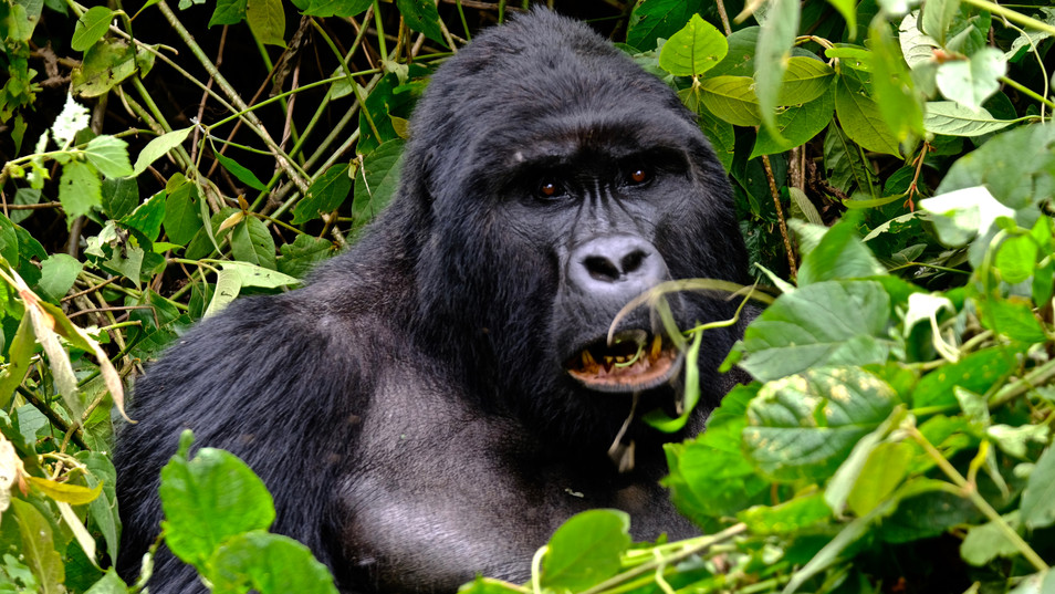 One of my favourite days of the trip, trekking to see the Mountain Gorillas.
