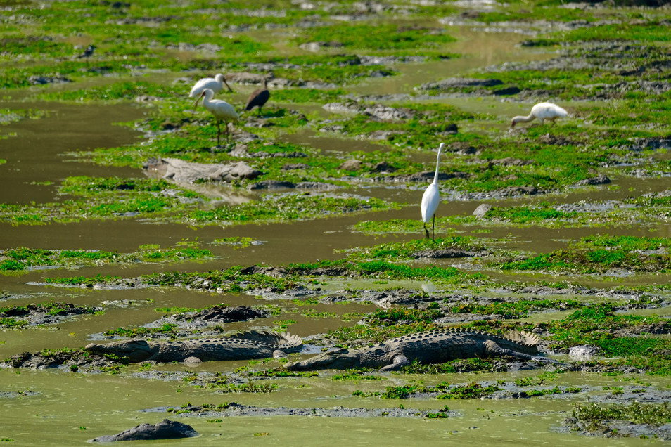 We were surprised when we discovered that birds and crocodiles can live so close to each other.