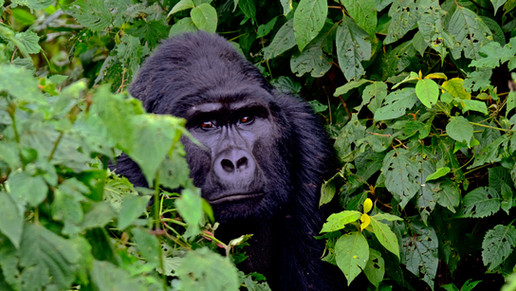 Up close with a Silverback.
