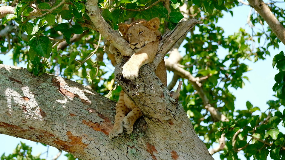 The most popular places to find the tree climbing lions are Ishasha national parks . In most instances, tourists make their way to Isasha National Park to watch lions on trees since this is the park's major tour highlight.