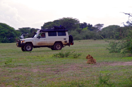 During our game drive we find a group of lions with cups.