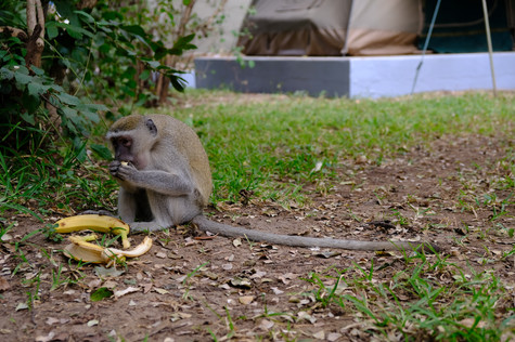 Look at this little rascal enjoying our bananas. He stole the whole bunch from out car 😂