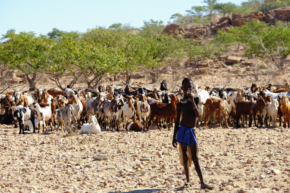 A young Himba boy herding more than 100