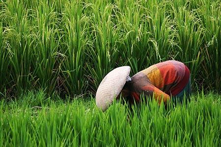 Rice-field-walk-12.jpg