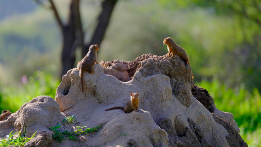 Meet a mongoose. Did you know that the dwarf mongoose is the smallest carnivore in Africa? Even so, these tiny creatures have big personalities.