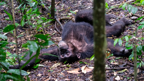 Chimp Tracking at Kibale National Park was crazy cool! It took us several hours to actually find the chimps, but that's part of the journey as you can hear them screaming - and that is how we located them.  Once we found them they really showed human-like behavior (besides acting crazy 😜 ), they did not seem to mind our presence one bit and tolerated us walking through the jungle with around 30 of them.