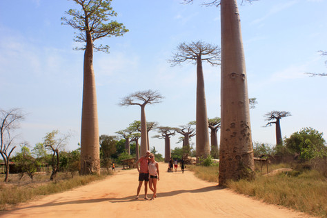 The Avenue of the Baobabs or Alley of the Baobabs is a prominent group of baobab trees lining the dirt road between Morondava and Belon'i Tsiribihina in the Menabe region of western Madagascar. Its striking landscape draws travelers from around the world, making it one of the most visited locations in the region. Along the Avenue, over some 2.633 metres, are 200-250 grandidieri trees, about 30 metres in height, endemic to Madagascar. Another 20–25 trees of this species grow in nearby rice paddies and meadows.  Baobab trees, up to 2.800 years old, known locally as renala, are a legacy of the dense tropical forests that once thrived on Madagascar.