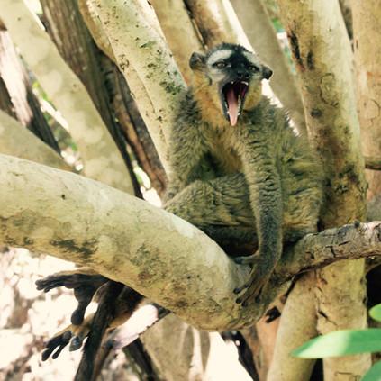 Sleepy Brown Lemur