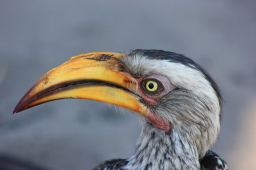 Southern yellow-billed Bird