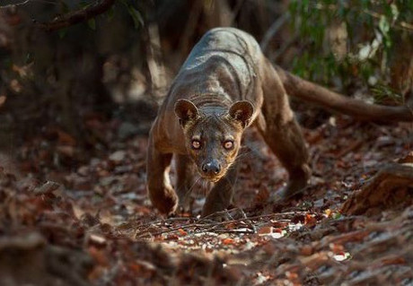 The fossa is the largest carnivore and top predator native to Madagascar and is known to feed on lemurs and most other creatures it can get its claws on, from wild pigs to mice. The elusive fossa is a solitary animal and spends its time both in the trees and on the ground. They look like a cross between a cat, a dog, and a mongoose. Fossas have slender bodies, muscular limbs, and short, reddish-brown coats. They have small, cat-like heads, short, dog-like muzzles, and large, rounded ears. . Curious about the fossa? You can find them in the Andranomena Reserve of Madagscar.