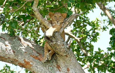 Climbing tree lion.