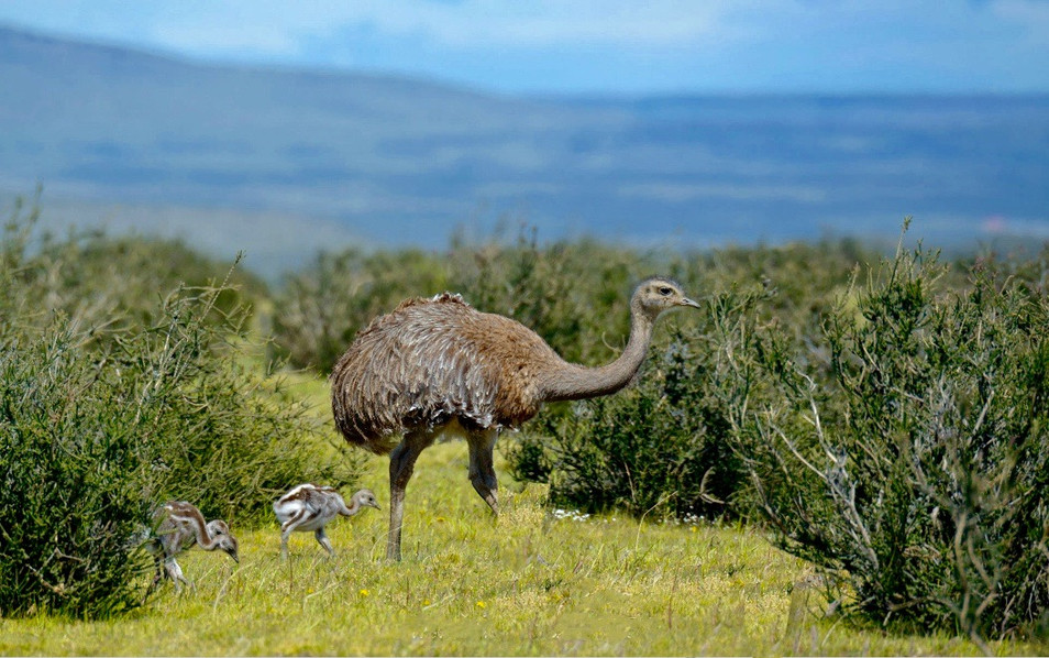 It takes some getting used to when you compare this American ostrich to the African one. It is much taller.