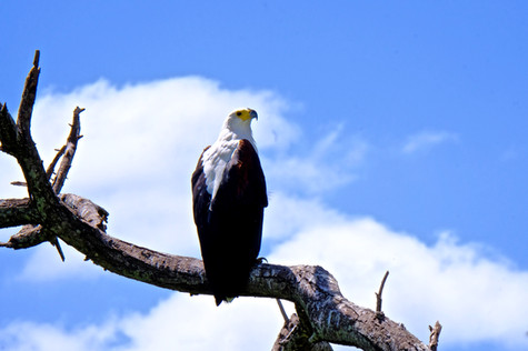Watching from a vantage; an African Fish Eagle perched on a branch overlooking the flood plains.