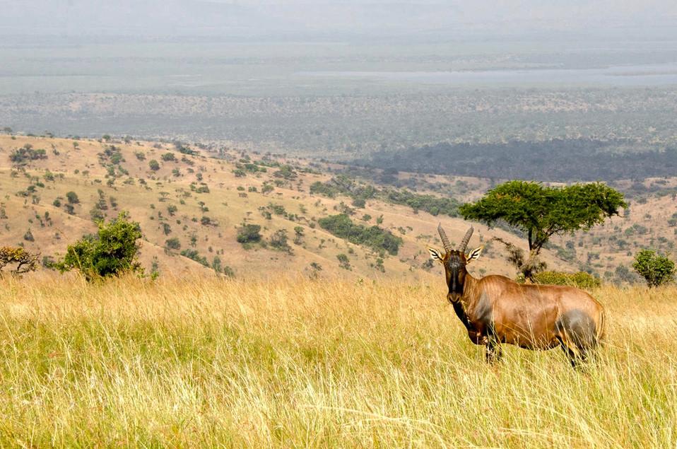 Hartebeest in Murchison Falls.